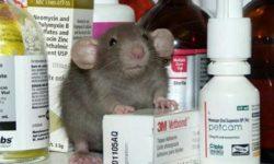 Антибиотики и препараты для домашних крыс: применение и дозировки