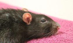 Абсцесс у крысы (нарывы на теле и шее): симптомы и лечение