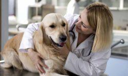 Кастрация и стерилизация собаки: как проходит процедура, плюсы и минусы