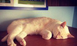 Пиометра у кошки: симптомы, лечение, профилактика