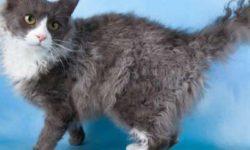 Лаперм 🐈 фото кошки, история и описание породы, характер, уход, стандарты