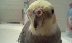 Наросты у попугаев: что означают и как их лечить