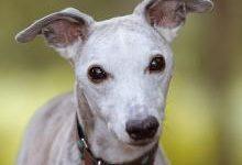 Уиппет: все о собаке, фото, описание породы, характер, цена