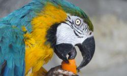Питание попугая ара