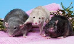 Вес и размер крысы от маленькой до взрослой - таблица по возрасту