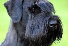 Ризеншнауцер: все о собаке, фото, описание породы, характер, цена