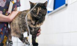 Как ставить капельницу коту в домашних условиях - советы ветеренаров