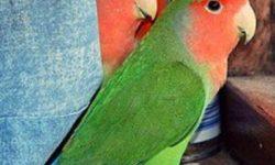 Почему попугай перестал чирикать, что делать?