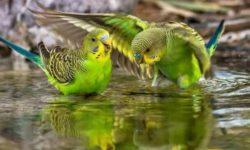 Как правильно купать волнистого попугая: все нюансы