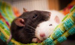 Гамаки для крыс: покупные и сделанные своими руками (фото идей)
