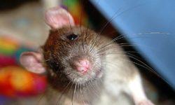 Крысы умеют смеяться? Видео смеющейся крысы