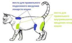 Как сделать укол кошке в холку, подкожно, внутримышечно, в бедро: фото, видео