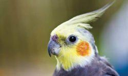 Какой должен быть помет у попугая: норма и патология