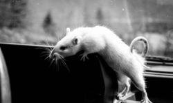 Как понять что домашняя крыса умирает от старости и от болезни