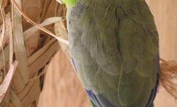 Воробьиный попугай - миниатюрный и тихий представитель попугаевых