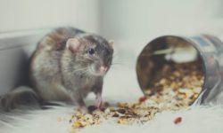 Обзор лучших кормов для крыс (бюджетные и премиум варианты)