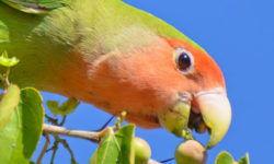 Чем кормить попугая неразлучника в домашних условиях