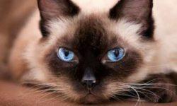 Сиамская кошка 🐈 фото, описание породы, характер, уход, стандарты, имена, цена