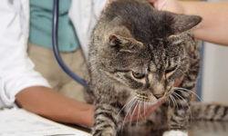 Микоплазмоз у кошек: [стоит ли бояться, как уберечь]