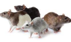 Породы, разновидности и окрасы домашних крыс, фотографии и названия
