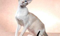 Ориентальная короткошерстная кошка 🐈 фото, описание породы, характер, уход, стандарты