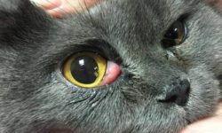 Третье веко у кошки [причины, лечение, профилактика]