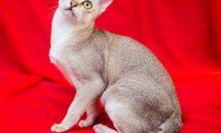 Сингапурская кошка 🐈 фото, описание породы, характер и уход
