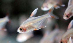 Рыбки Орнатус : описание видов и особенности ухода и содержания