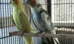 Выбор клетки для попугая кореллы: форма, размер, материалы