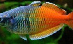 Радужные рыбки (радужницы, меланотения): описание, содержание, уход, виды, совместимость, размножение (разведение) в аквариуме