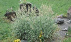 Фалярис тростниковый: особенности выращивания, виды двукисточника