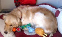 Ложная беременность у собак: симптомы и лечение, что делать, как протекает