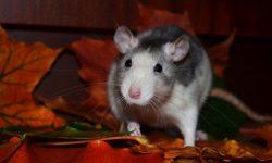 Как определить возраст крысы, как быстро и до какого возраста растут декоративные грызуны