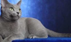 Русская голубая 🐈 фото кошки, описание породы, характер, уход, стандарты, цвет глаз, цена, клички, вес.