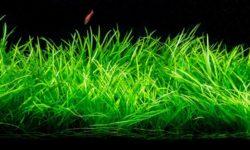 Валлиснерия: особенности и виды аквариумного растения, требования к посадке и уходу за водорослями