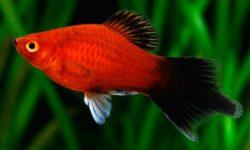 Аквариумные рыбки пецилии: содержание, уход, размножение и совместимость