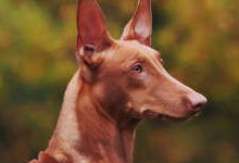 Фараонова собака: все о собаке, фото, описание породы, характер, цена