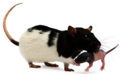 Крыса рожает крысят: что делать во время и после родов