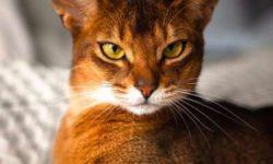 Абиссинская кошка 🐈 фото, описание породы, характер, уход, цена, отзывы, имена, кормление
