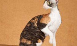 Корниш-рекс 🐈 фото кошки, цена кудрявой породы, история и описание характера, уход.