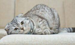 Шотландские вислоухие котята: уход и питание, характер, фото