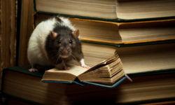 Крысы - умные животные: интеллект и количество хромосом грызуна