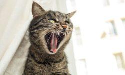 3 причины почему кастрированный кот орет