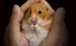 У хомяка отказали задние лапы: причины и лечение