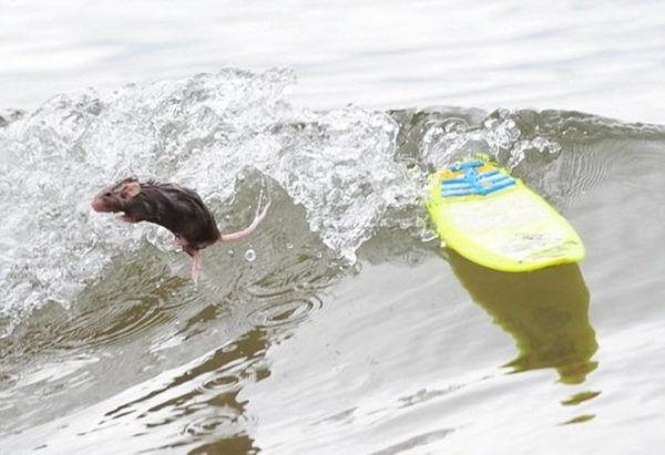 Крысы умеют плавать (дикие и домашние)?