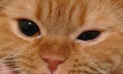 Болезни глаз у кошек: конъюнктивит, катаракта, кератит, глаукома у котов