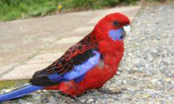 Содержание попугая Розелла в домашних условиях