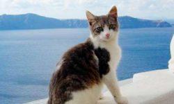 Эгейская кошка 🐈 фото, описание породы, характер, уход, стандарты