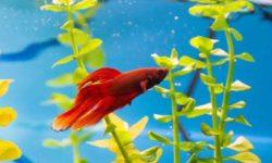 Сколько живут рыбки петушки в домашних условиях, определяем возраст, правильный выбор рыбки