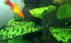 Черная борода в аквариуме: ? 8 эффективных методов как избавиться и бороться от водоросли, причины появления